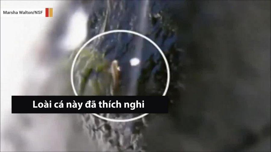 Tròn mắt xem kỹ năng 'thần sầu' của loài cá bám đá, vượt thác cao hàng chục mét