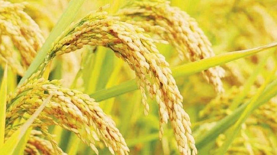 Giá lúa gạo hôm nay ngày 10/8: Nguồn cung giảm, giá lúa ở mức cao