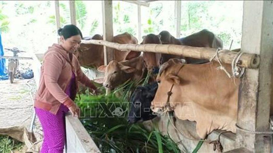 Chăn nuôi theo hướng hàng hóa giúp đồng bào vùng cao ở Quảng Ngãi thoát nghèo