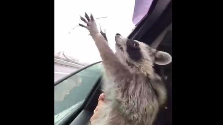 Gấu trúc Mỹ tìm cách bắt những giọt nước mưa ngoài cửa sổ ô tô