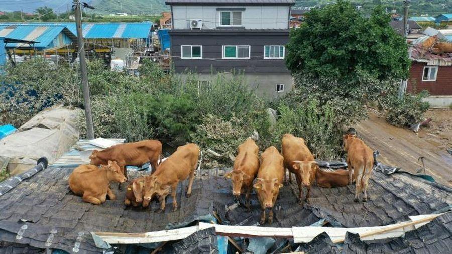 Mưa lớn gây lũ lụt nặng ở Hàn Quốc, đàn bò mắc kẹt trên mái nhà