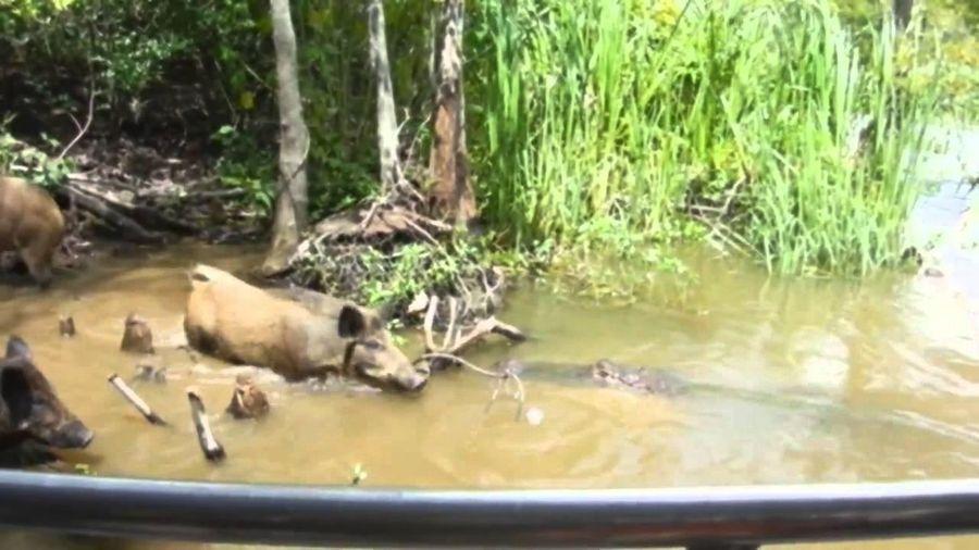 Cái giá của sự tham ăn, lợn rừng đánh đổi bằng chính mạng sống của mình