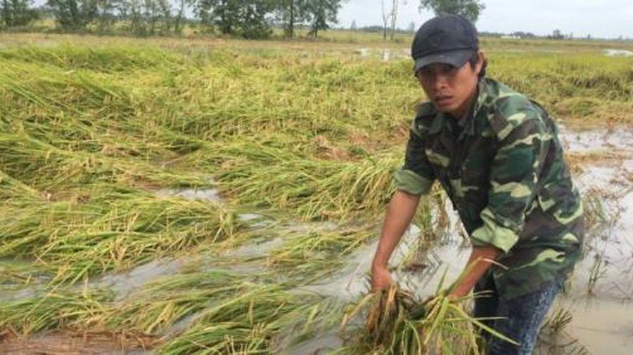 Bạc Liêu: Hơn 390 ha lúa hè thu bị sập do ảnh hưởng bão số 2