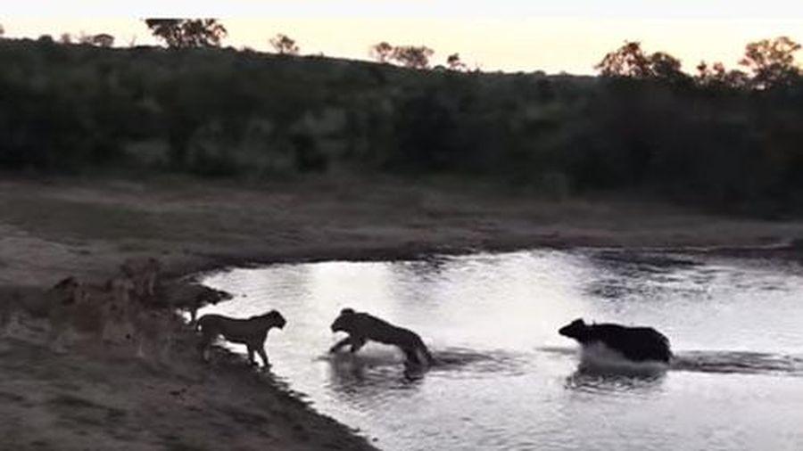 CLIP: Trâu rừng thoát chết 'thần kỳ' khi bị đàn sư tử tấn công