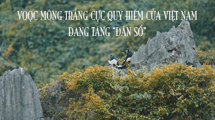 Voọc mông trắng cực quý hiếm của Việt Nam đang tăng 'dân số'