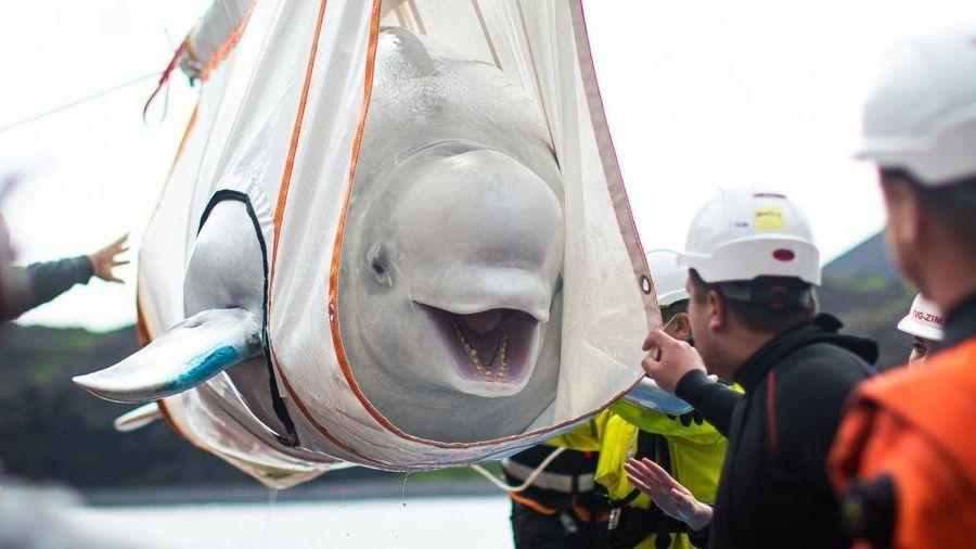 Hai cá voi trắng được thả tự do sau gần 10 năm nuôi nhốt ở Trung Quốc