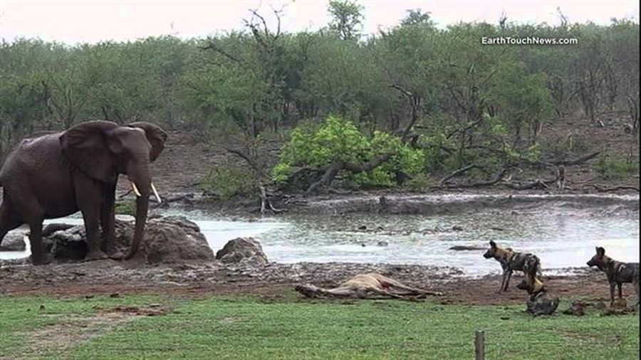 Dũng cảm đối đầu voi, đàn chó hoang hưởng trái ngọt