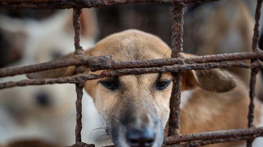 Campuchia mỗi năm giết thịt hơn 3 triệu con chó
