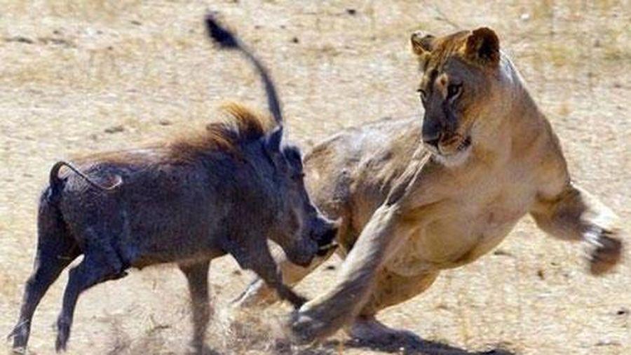 Lợn bướu tinh ranh khiến sư tử vất vả truy sát vẫn 'xôi hỏng bỏng không'