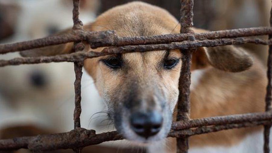 Nỗ lực xóa bỏ các lò mổ thịt chó ở Campuchia