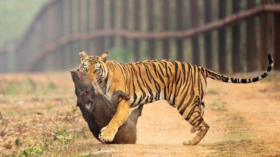 Hổ âm thầm phục kích, hạ gục lợn rừng trong một phát cắn
