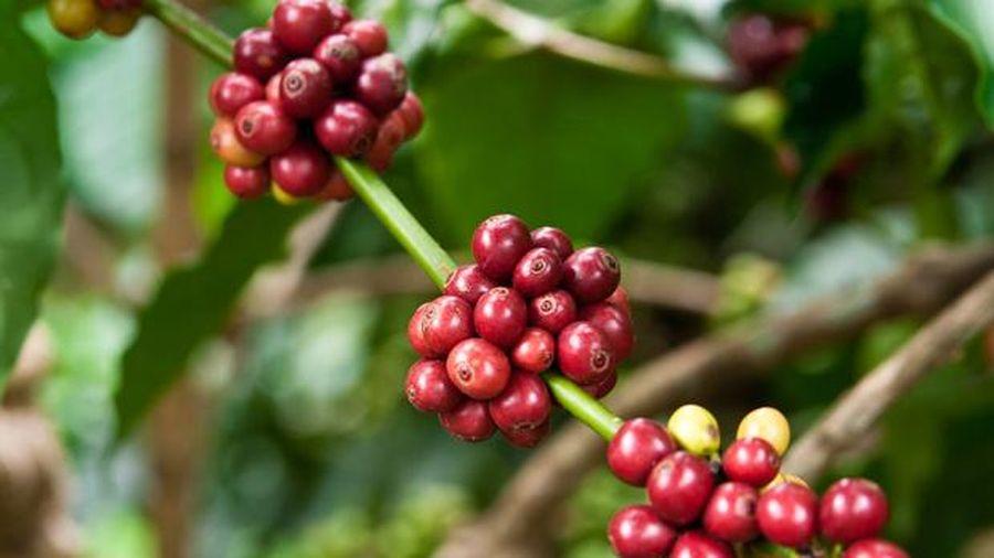 Giá cà phê hôm nay 13/8: Đảo chiều đồng loạt tăng 100 - 200 đồng/kg