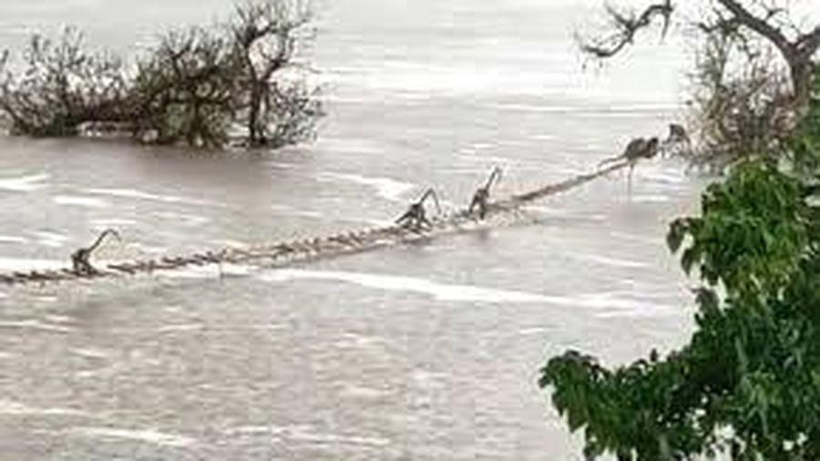 Đàn khỉ hơn 50 con vắt vẻo đu thang dây để qua sông sau mưa lớn