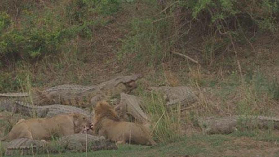 CLIP: Hai con sư tử 'ngồi chung bàn tiệc' với đàn cá sấu