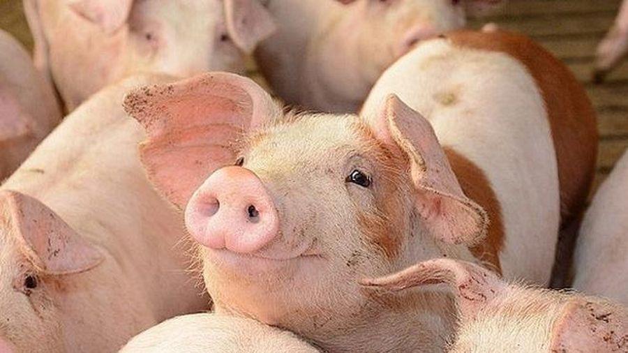 Giá lợn hơi hôm nay 13/8: Chững đà giảm giá
