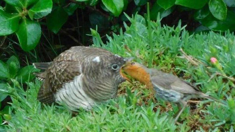 Chim cổ đỏ dính cú lừa đau đớn, ngày đêm nuôi đứa con to xác không cùng huyết thống