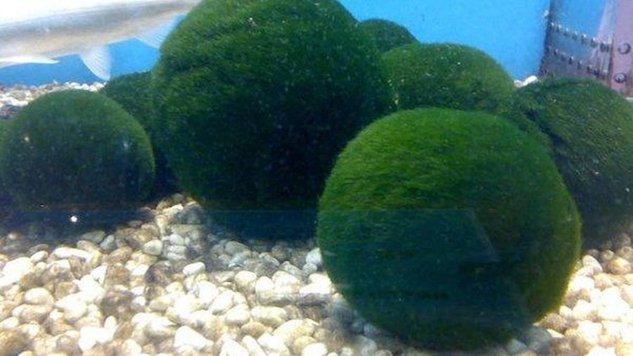 Sự thật về trào lưu nuôi tảo thành thú cưng phổ biển ở Nhật Bản
