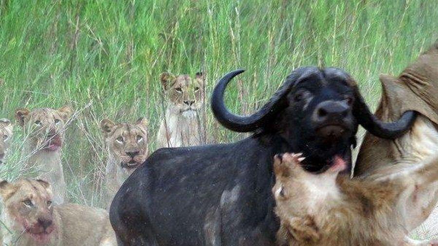 Clip: Trâu rừng phản kháng, tung ra cú húc hiểm hóc hất sư tử lên trời