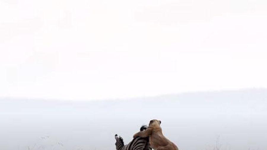 CLIP: Ngựa vằn bỏ mạng dưới hàm răng sắc nhọn của sư tử