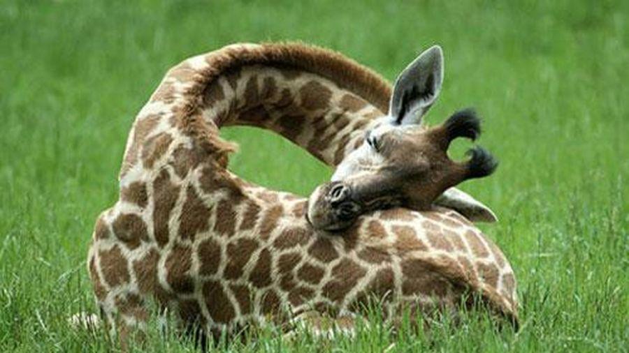 Được ngủ tưởng chừng như sung sướng, nhưng với những loài động vật sau thì đó lại trở thành 'cực hình'