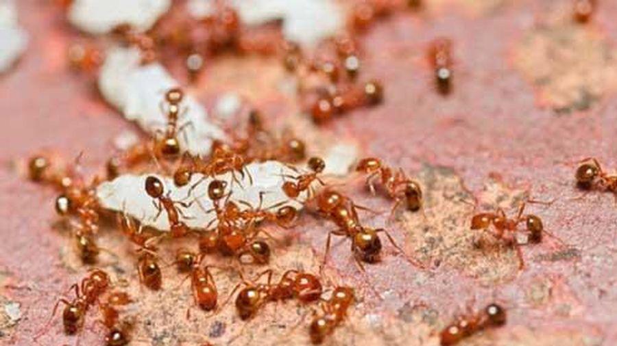 Bật mí tuyệt chiêu giúp nhà bạn không có con kiến nào mà không cần thuốc