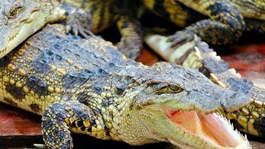 Trao giải Ig Nobel cho nghiên cứu về giọng cá sấu