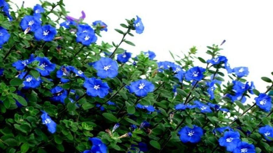5 loài hoa chịu nắng chịu gió cực tốt, tha hồ trồng trên ban công hướng Tây để ngôi nhà nhỏ thêm rực rỡ