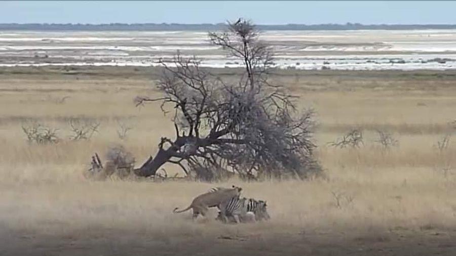 CLIP: Mai phục khéo léo, 2 con sư tử bắt sống ngựa vằn trong 'chớp mắt'