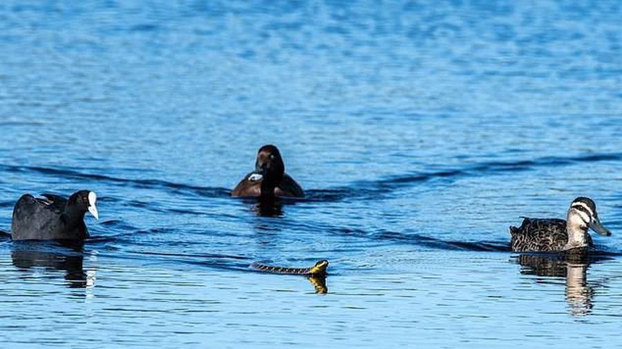 Đàn vịt 3 con hộ tống con rắn 'kịch độc' bơi vào bờ