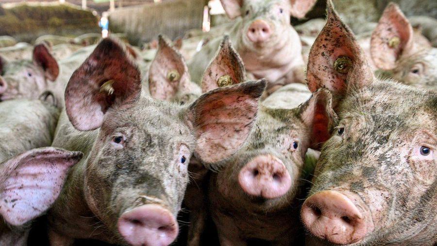 Trung Quốc cấm nhập khẩu thịt lợn từ Đức: Động thái bất ngờ làm 'choáng' cả châu Âu