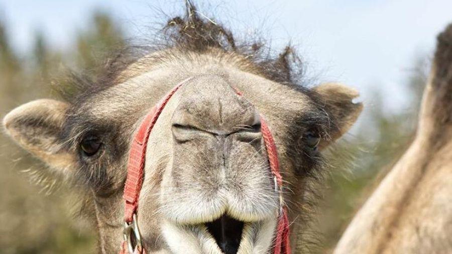 Ấn Độ dùng lạc đà hai bướu tuần tra biên giới với Trung Quốc