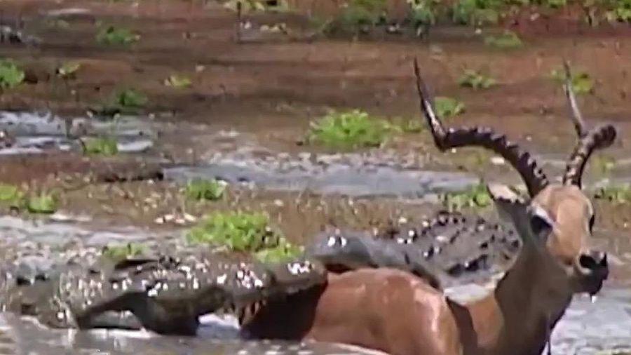 Linh dương thoát hiểm sau khi bị cá sấu đớp dưới đầm lầy