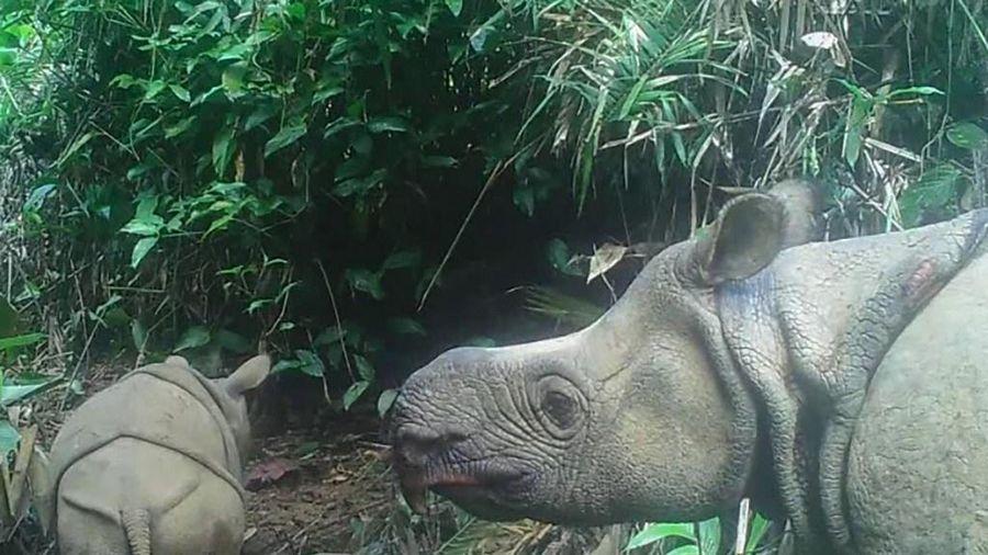 Indonesia phát hiện 2 tê giác non thuộc loài bị đe dọa tuyệt chủng