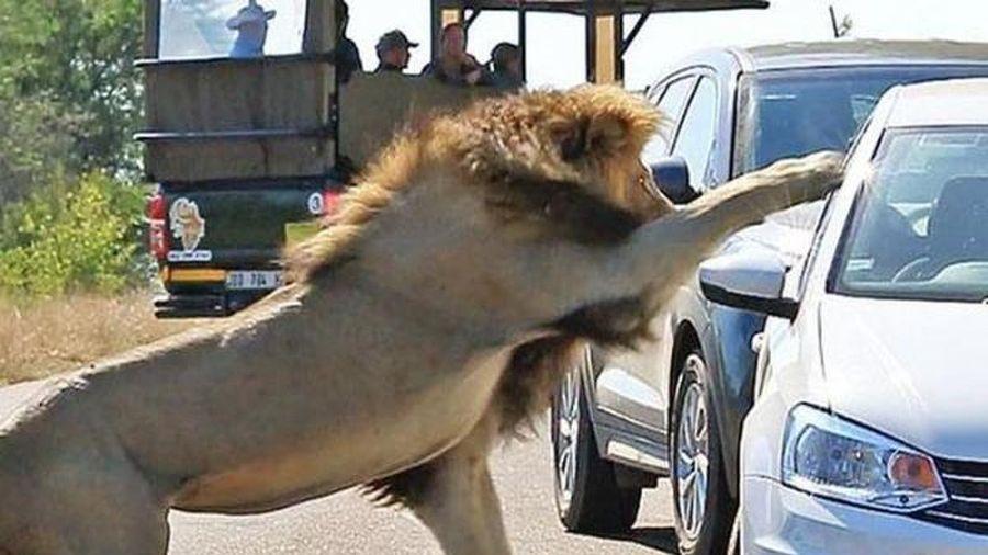 Hết hồn cảnh sư tử tấn công người qua cửa kính ô tô