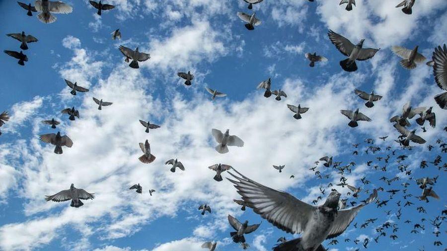 Vùng trời bí ẩn ở Anh khiến hàng loạt chim bồ câu 'bốc hơi'