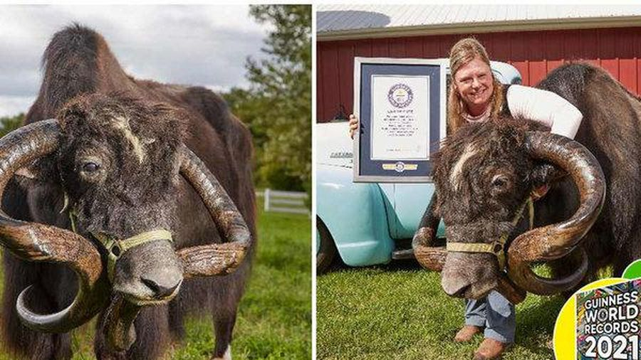 Choáng với sừng bò Tây Tạng dài nhất thế giới