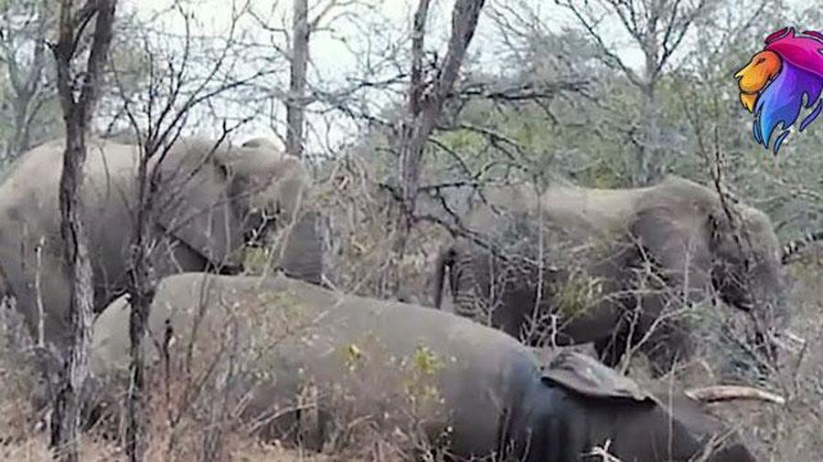 Cảm động trước khoảnh khắc bầy voi tiễn đưa đồng loại về 'nơi an nghỉ cuối cùng'