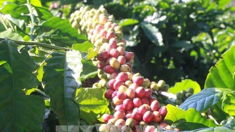 Thị trường nông sản tuần qua: Giá cà phê giảm mạnh