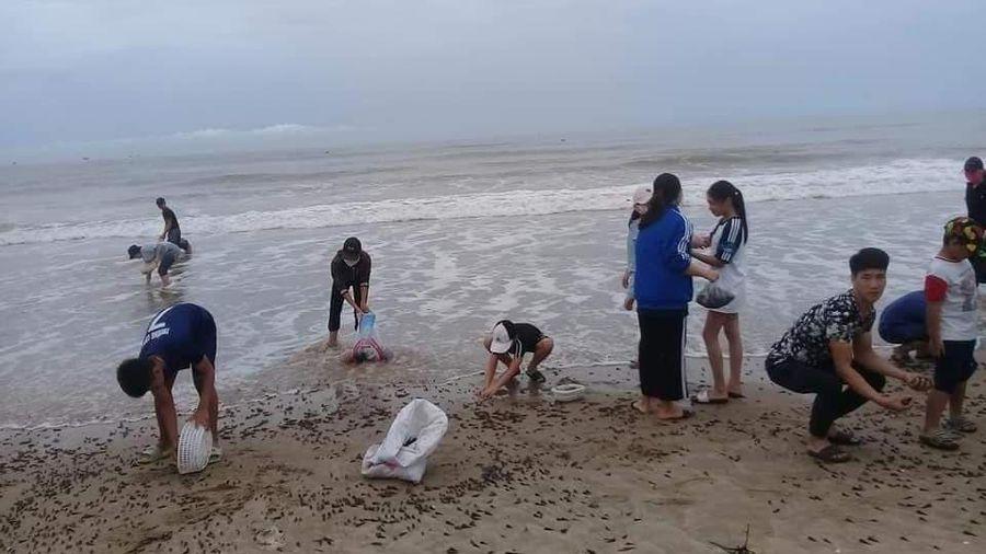 Hàng trăm ngư dân Quảng Bình đổ ra bờ biển nhặt lộc biển sau bão số 5