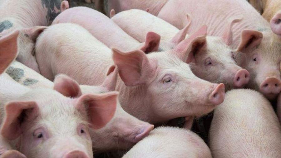 Giá lợn hơi hôm nay 20/9: Dao động quanh ngưỡng 79.000 - 84.000 đồng/kg