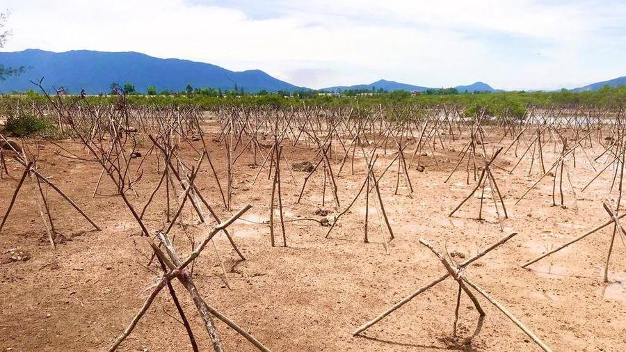 Rừng ngập mặn ở Hà Tĩnh vừa trồng đã chết trắng