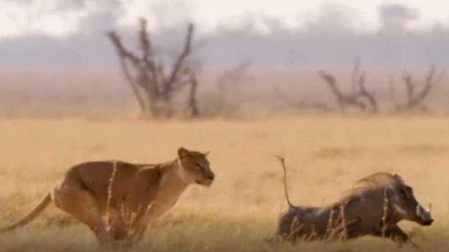 CLIP: Lợn bướu thoát chết ngoạn mục khi bị sư tử tấn công