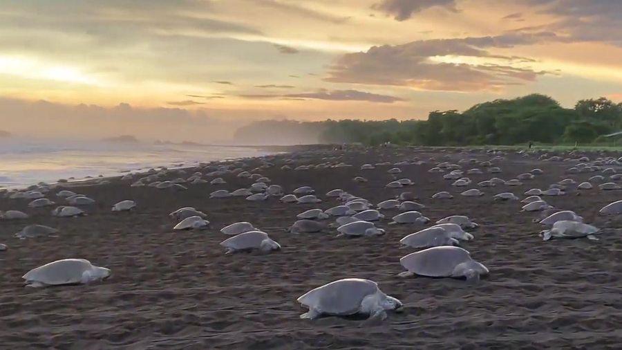 Rùa biển đồng loạt lên bờ đẻ trứng ở Costa Rica