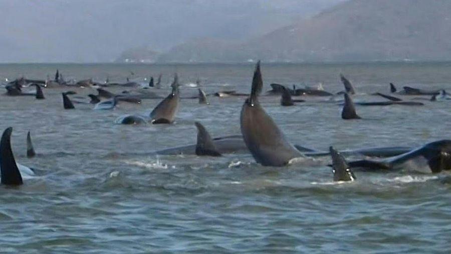 Nỗ lực giải cứu hàng trăm con cá voi mắc cạn ở Australia