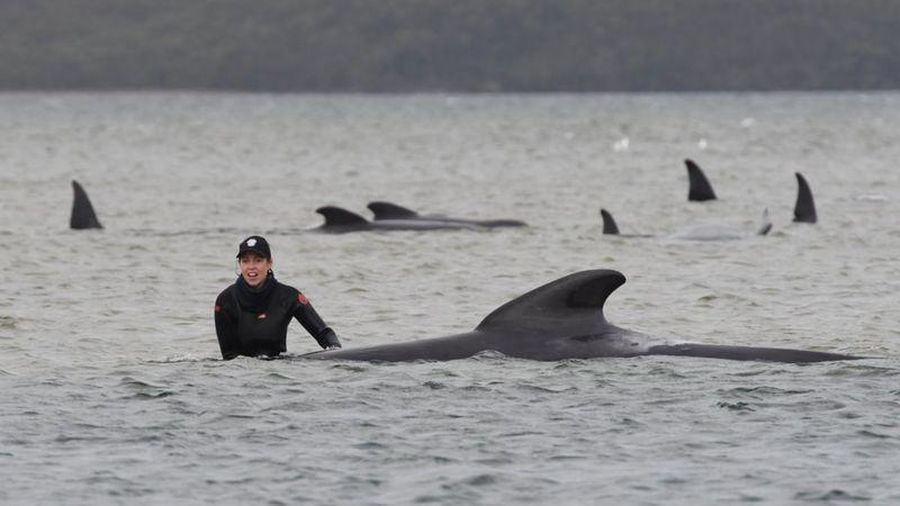 Hàng trăm con cá voi mắc kẹt bất thường gần Úc
