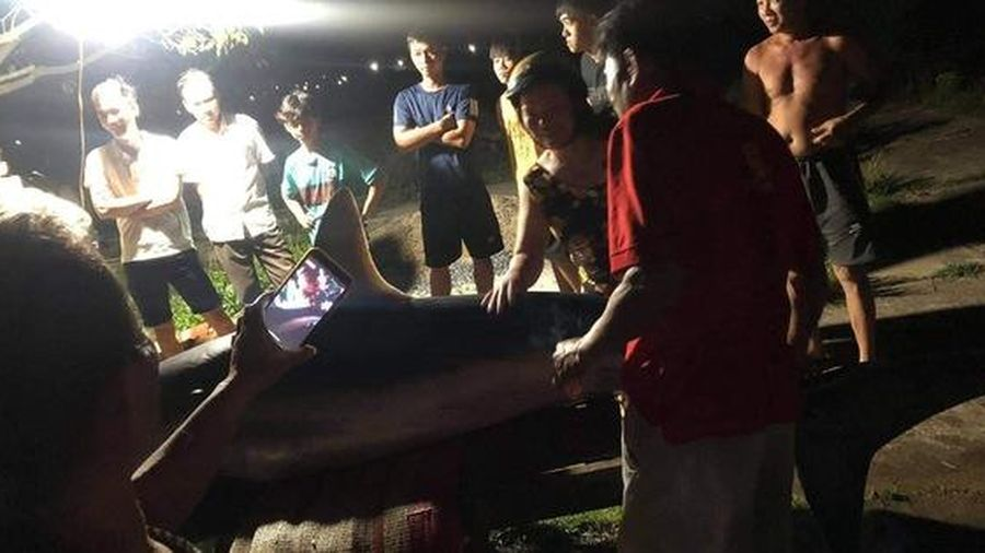 Phát hiện cá mập xanh trôi dạt vào bờ biển ở Quảng Trị