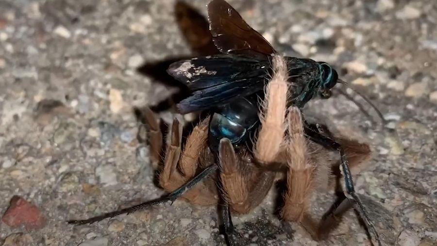 Ong bắp cày hạ gục nhện Tarantula