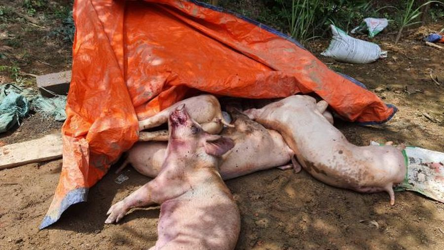 Khánh Hòa xuất hiện dịch tả lợn Châu Phi