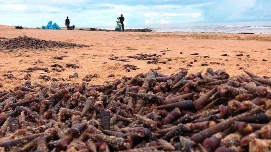 Ốc dạt kín biển Quảng Bình sau bão: Hiện tượng lạ, ốc không lạ