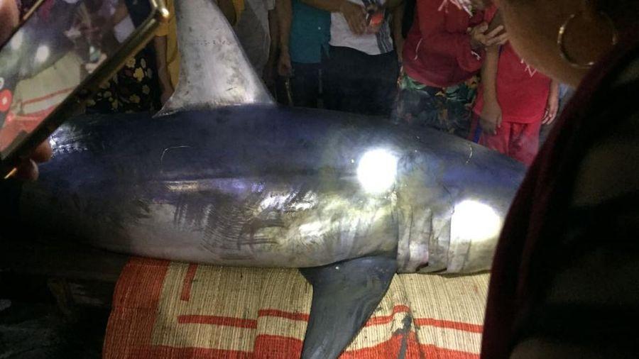 Phát hiện cá mập xanh dài gần 3 mét nặng 250kg ở biển Quảng Trị